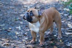 Cane Il bulldog francese sta nel fogliame di autunno Priorità bassa di autunno Immagini Stock