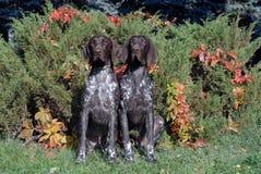 Cane indicante dai capelli corti tedesco Fotografie Stock