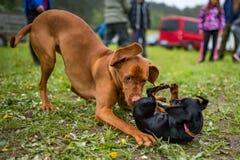 Cane indicante dai capelli corti ungherese immagine stock libera da diritti