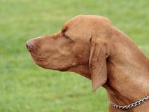 Cane indicante dai capelli corti ungherese tipico nel giardino fotografia stock libera da diritti