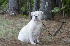 Cane inglese incinto del bulldog Immagini Stock Libere da Diritti