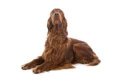 Cane irlandese dell'incastonatore rosso Immagine Stock