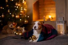 Cane Jack Russel Stagione 2017, nuovo anno di Natale Immagini Stock