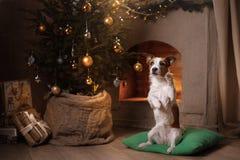 Cane Jack Russel Stagione 2017, nuovo anno di Natale Immagini Stock Libere da Diritti