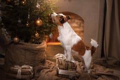 Cane Jack Russel Stagione 2017, nuovo anno di Natale Immagine Stock