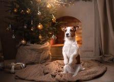Cane Jack Russel Stagione 2017, nuovo anno di Natale Fotografie Stock Libere da Diritti