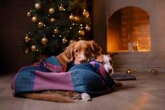 Cane Jack Russell Terrier e cane Nova Scotia Duck Tolling Retriever Stagione 2017, nuovo anno di Natale Immagine Stock