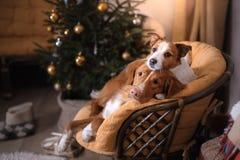 Cane Jack Russell Terrier e cane Nova Scotia Duck Tolling Retriever Stagione 2017, nuovo anno di Natale Fotografia Stock