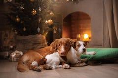 Cane Jack Russell Terrier e cane Nova Scotia Duck Tolling Retriever Stagione 2017, nuovo anno di Natale Fotografia Stock Libera da Diritti