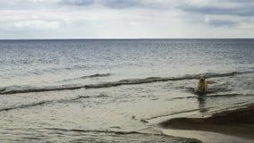 Cane labrador nel mare Immagine Stock Libera da Diritti