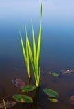 Cane in lake water Stock Image