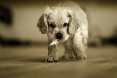 Cane lanuginoso bianco immagini stock