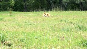 Cane lanuginoso del corgi divertente che gioca con la palla archivi video