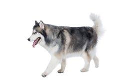 Cane lanuginoso del husky siberiano che cammina su un fondo bianco Fotografie Stock
