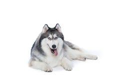 Cane lanuginoso del husky siberiano che si trova su un fondo bianco Immagine Stock