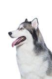 Cane lanuginoso del husky siberiano che si trova su un fondo bianco Fotografia Stock Libera da Diritti