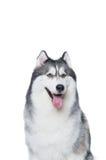 Cane lanuginoso del husky siberiano che si trova su un fondo bianco Immagini Stock