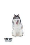 Cane lanuginoso del husky siberiano che si trova su un fondo bianco con la ciotola Fotografia Stock