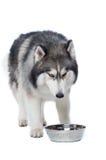 Cane lanuginoso del husky siberiano che si trova su uno sguardo bianco del fondo alla BO Fotografia Stock