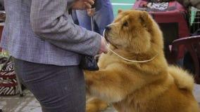 Cane lanuginoso di Chow Chow che sta sulle zampe e che chiede gli ossequi, animale domestico d'alimentazione della donna video d archivio