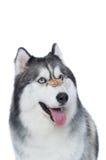 Cane lanuginoso sveglio del husky siberiano con l'ossequio del cane Immagini Stock Libere da Diritti