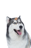 Cane lanuginoso sveglio del husky siberiano con l'ossequio del cane Immagine Stock Libera da Diritti