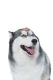 Cane lanuginoso sveglio del husky siberiano con l'ossequio del cane Fotografie Stock