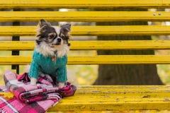 Cane Longhair della chihuahua che si siede sul banco Fotografia Stock