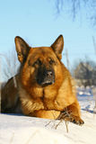Cane luminoso che si trova su una neve Immagine Stock