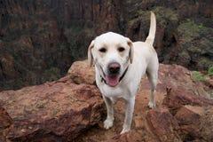 Cane luminoso del retreiver di labrador della bionda Fotografie Stock
