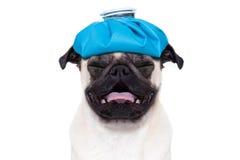 Cane malato malato immagini stock