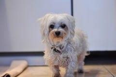 Cane maltese bianco che guarda diritto nella macchina fotografica Fotografia Stock