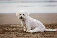 Cane maltese bianco che si siede sulla spiaggia immagini stock