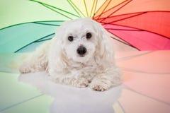 Cane maltese bianco che si trova e che guarda in camera immagine stock