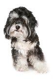 Cane maltese in bianco e nero. Immagine Stock Libera da Diritti