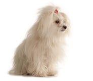 Cane maltese bianco su fondo bianco fotografia stock libera da diritti
