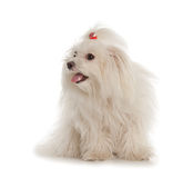 Cane maltese bianco su fondo bianco immagini stock libere da diritti