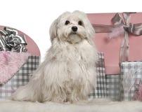 Cane maltese che si siede con i regali di natale Immagini Stock