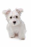Cane maltese della miscela fotografie stock