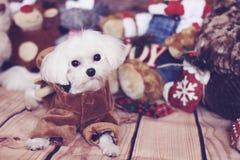 Cane maltese di festa immagine stock libera da diritti