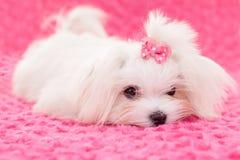 Cane maltese di razza Fotografia Stock