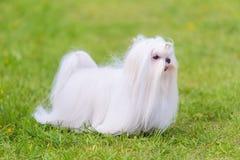 Cane maltese nel parco fotografie stock libere da diritti