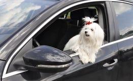 Cane maltese nell'automobile che guarda fuori la finestra Immagini Stock Libere da Diritti