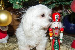 Cane maltese sotto l'albero di Natale fotografia stock