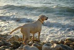 Cane, mare, oceano, labrador, razza, addestramento, gioco, animale, roccia, amico Immagini Stock Libere da Diritti