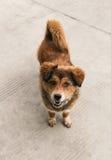 Cane marrone amichevole Immagini Stock Libere da Diritti