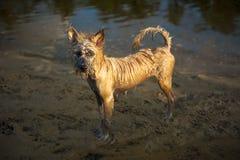 Cane marrone bagnato e sporco, Tailandia Fotografia Stock
