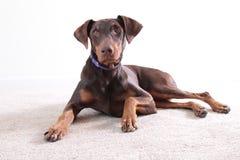Cane marrone del doberman del ritratto Fotografia Stock Libera da Diritti