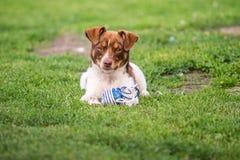 Cane marrone felice Immagini Stock Libere da Diritti