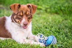 Cane marrone felice Fotografia Stock